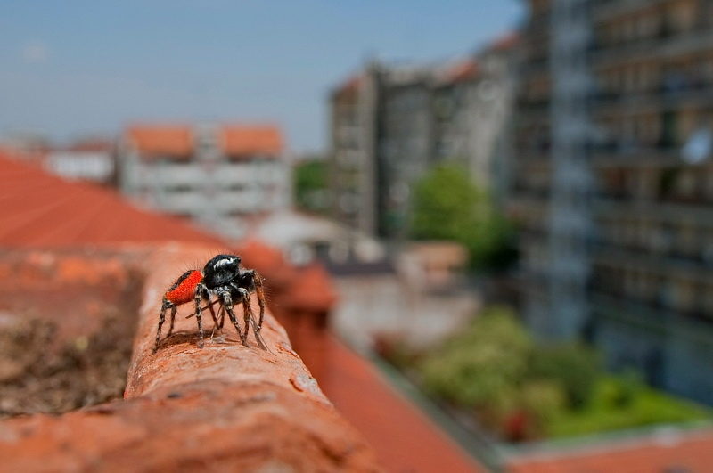 Male jumping spider, Phileus chrysops, sunning on a terrace in city, Milan, Italy
